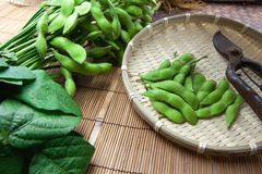 Fresh harvested edamame soybeans Stock Photo