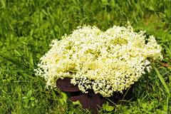 Fresh harvested elderflowers outside Stock Photos