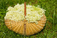 Fresh harvested elderflowers in wicker basket outside Stock Images
