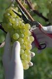 Fresh harvested grape Royalty Free Stock Photo