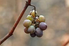 Fresh harvested grapes Royalty Free Stock Image