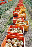Fresh harvested onion bulbs on field Stock Image