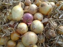 Fresh harvested onion Stock Photos