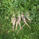Fresh harvested parsley on the ground. Stock Photography