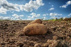 Close up of fresh harvested potatoes on the field. Fresh harvested potatoes on the field, dirt after harvest at organic family farm. Blue sky and clouds. Close royalty free stock photography