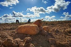 Close up of fresh harvested potatoes on the field. Fresh harvested potatoes on the field, dirt after harvest at organic family farm. Blue sky and clouds, workers stock photography