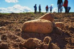 Close up of fresh harvested potatoes on the field. Fresh harvested potatoes on the field, dirt after harvest at organic family farm. Blue sky and clouds, workers royalty free stock photography