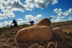 Close up of fresh harvested potatoes on the field. Fresh harvested potatoes on the field, dirt after harvest at organic family farm. Blue sky and clouds, workers royalty free stock photo