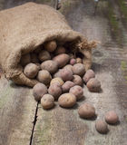 Fresh harvested potatoes spilling out of a burlap bag, on a roug Stock Image
