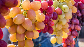 Fresh harvested red and white grapes Royalty Free Stock Image