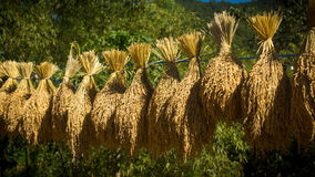 Fresh Harvested Rice Bushels hanging on a Line - Maligcong Rice Terraces. Bundles of freshly harvested rice hanging out to dry in the mountain provinces of the Stock Photography