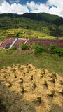 Fresh harvested Rice Drying in the Sun - Maligcong Rice Terraces. Rice bushels drying out under the hot Philippine sun Stock Photography