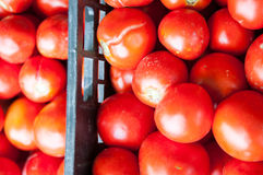 Fresh harvested tomatoes Royalty Free Stock Photography