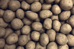 Fresh harvested yellow potato tubers Stock Image