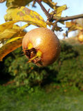 Fresh havest bio Medlar Royalty Free Stock Image
