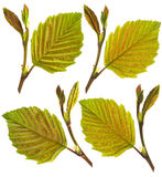 Fresh hazel leaves Royalty Free Stock Images