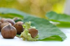 Fresh hazelnuts Stock Images