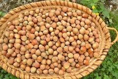 Fresh hazelnuts Royalty Free Stock Photo