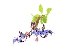 Fresh healing blue Borage Stock Images