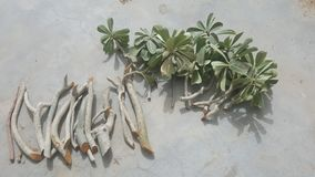 Fresh and healthy adenium plant cuttings ready for planting. royalty free stock photos