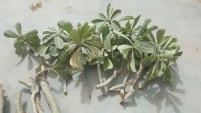Fresh and healthy adenium plant cuttings ready for planting. stock photography