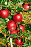 Fresh healthy apples on a tree in orchard. Agriculture in summer and autumn. Stock Photos