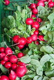 Fresh healthy bio radishes on farmer market Royalty Free Stock Images