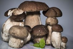 Fresh healthy family group of mushrooms cep porcini boletus edulis with basil leaf Stock Photos