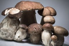 Fresh healthy family group of mushrooms cep porcini boletus edulis  Royalty Free Stock Photo