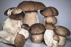 Fresh healthy family group of mushrooms cep porcini boletus edulis  Stock Image