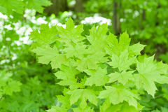 Fresh healthy green bio background with abstract blurred foliage and bright summer sunlight royalty free stock photography