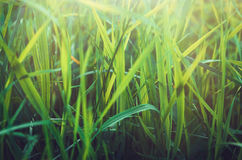 Fresh healthy green bio grass background with abstract blurred foliage, bright summer sunlight. Copyspace for your text Stock Photos