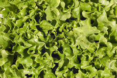 Fresh And Healthy Green Leaf Lettuce Royalty Free Stock Photography