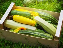 Fresh healthy green zucchini courgettes cucumber. In brown wooden box the open air on grass Royalty Free Stock Image