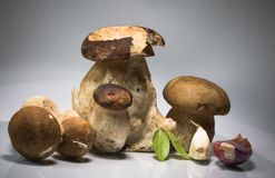 Free Fresh Healthy Happy Family Of Mushrooms Cep Porcini Boletus Edulis With Basil Herb And Garlic  Stock Photos - 100264163