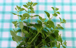 Fresh healthy lemon balm on checkered tablecloth, herbalism Stock Images