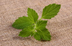 Fresh healthy lemon balm on jute canvas, herbalism Stock Photo