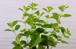 Fresh healthy lemon balm, wooden background, herbalism Royalty Free Stock Photography