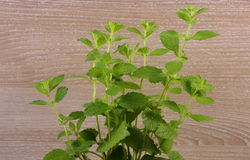Fresh healthy lemon balm, wooden background, herbalism Royalty Free Stock Images