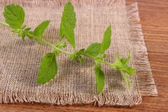 Fresh healthy lemon balm on wooden table, herbalism Royalty Free Stock Photography