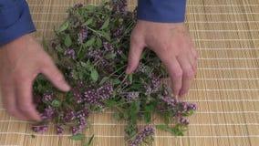 Fresh healthy oregano wild marjoram medical flowers stock footage