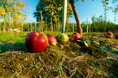 Fresh healthy red apples on a grass in orchard. Agriculture in autumn. Stock Photo