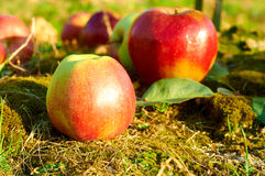 Fresh healthy red apples on a grass in orchard. Agriculture in autumn. Royalty Free Stock Image