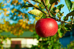 Fresh healthy red apples on a tree in orchard. Agriculture in autumn. Works in an orchard stock image