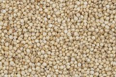 Sorghum Seed. Fresh and Healthy Sorghum Seed Royalty Free Stock Images