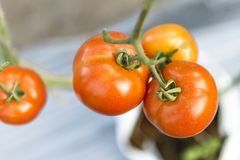 Fresh healthy tomato in the garden Stock Photography