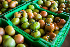 Fresh healthy tomatoes being stocked in plastic boxes Royalty Free Stock Image