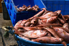 Fresh heap of fish. Fresh heap of red fish in blue bucket Royalty Free Stock Images