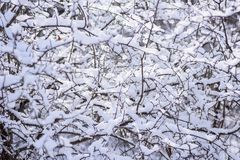 Fresh heavy snow covered branches in forest in morning light. Heavy snow on branches in woods Royalty Free Stock Images