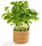 Fresh herb basil Royalty Free Stock Photo